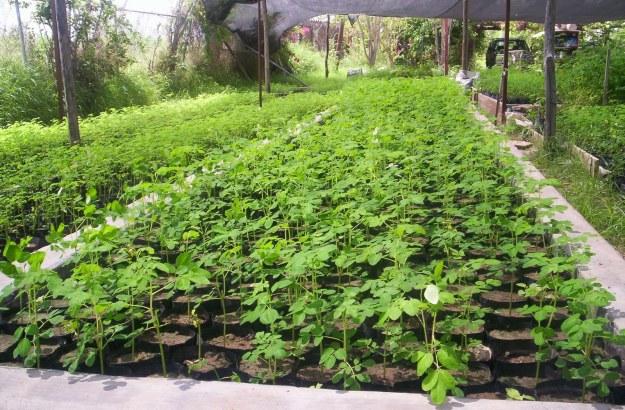 http://terragaia.files.wordpress.com/2012/01/moringa-oleifera-mudas.jpg