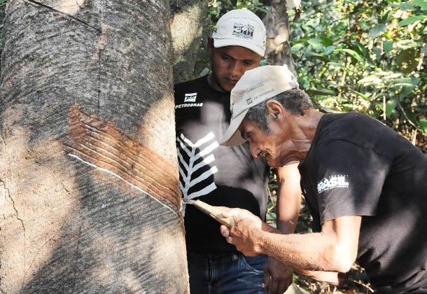 Seringueiro extrai látex na Reserva Extrativista Guariba-Roosevelt (RESEX): produção anual de 30 mil toneladas gera renda de R$ 120 mil, beneficiando 47 famílias. Foto: Laércio Miranda