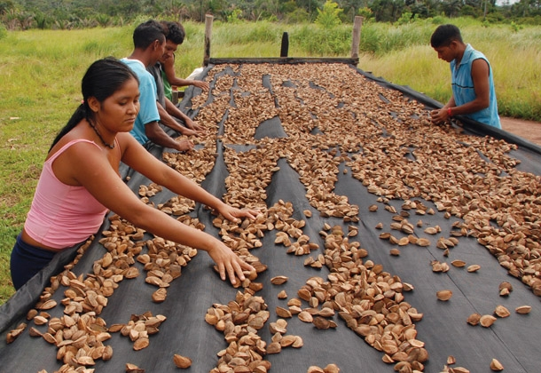Rikbaktsa people drying of Brazil nuts: to propose a new model of economic development for the forest, the Integrated Program of Nut (PIC) supports processes of social organization, training and structuring systems of collection, selection, storage and marketing of non-timber forest products (NTFPs). Photo: Laércio Miranda