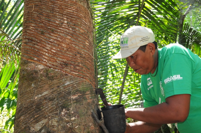 Rubber tapper extracts latex in Guariba-Roosevelt Extractive Reserve (RESEX): annual output of 30 thousand tons generates income of US$ 68,000, benefiting 47 families. Photo: Laércio Miranda